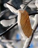 La feuille glacée