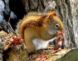 L'écureuil dévorant sa carotte