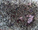 Macro de lichen
