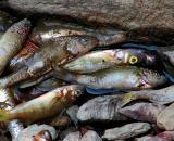 cimetière de poissons