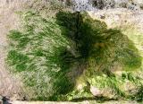 algue verte en forme de...