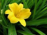 la fleur jaune