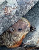 la marmotte planquée