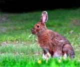 le lièvre du Bic en retard pour Pâques