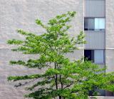 l'arbre contre l'immeuble