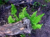 Fougère des bois