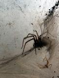 Chianti, l'araignée squatteuse du vignoble