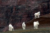 Mtn goats in the Uintas