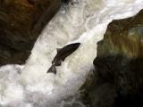 Puppy Falls Huge Male Chinook Salmon