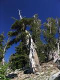 Twisted ancient foxtail pine and whitebark pines in Alps