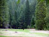 Bear in Abbott meadow