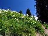 Beargrass in bloom