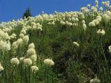 Beargrass splendor