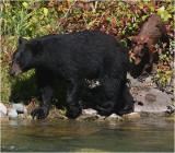 Black Bear Sow w Cub