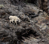 Lillooet Mountain Goat