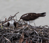 Lytton's Osprey Family