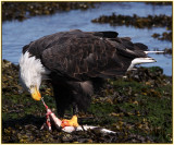 Bald Eagle eating prey
