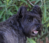 Smokey - Cairn Terrier