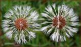 Detailed Dandelion