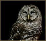 Barred Owl - 4