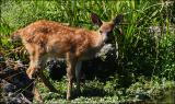 Columbia Blacktail Fawn