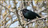 Brewers Blackbird - male
