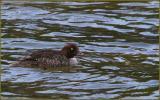 Fountain Lake - Common Goldeneye