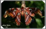 Moth - Atlas