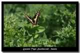 Butterfly - Swallowtail