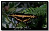 Butterfly - Thoas Swallowtail