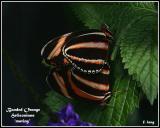Banded Orange Heliconians - mating