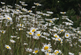 Field of Wild Daisies