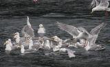 Gull Foraging