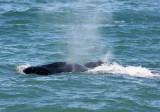 4  Southern Right Whale Eubalaena australis Peninsula Valdez 20101102.jpg