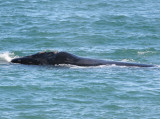 4  Southern Right Whale Eubalaena australis Peninsula Valdez 20101102a.jpg