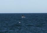 4  Southern Right Whale Eubalaena australis Peninsula Valdez 20101102c.jpg