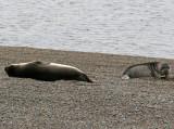 4 Southern Elephant Seal Mirounga leonina Peninsula Valdez Argentina 20101102.jpg