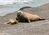 4 Southern Elephant Seal Mirounga leonina Peninsula Valdez Argentina 20101102a.jpg