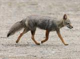 5 Argentine Gray Fox Dusicyon griseus Peninsula Valdez 20101103.jpg