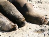 5 South American Sea Lion Otaria byronia Peninsula Valdez 20101103a.jpg