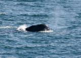 5 Southern Right Whale Eubalaena australis Peninsula Valdez 20101103.jpg