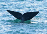 5 Southern Right Whale Eubalaena australis Peninsula Valdez 20101103a.jpg