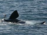 5 Southern Right Whale Eubalaena australis Peninsula Valdez 20101103b.jpg