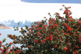 12 Glaciar Perito Moreno and Chilean Fire Bush Embothrium coccineum 20101110.jpg
