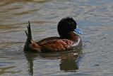 1105 Andean Duck, Oxyura ferruginea, male, Lagua Nimez, Argentina, 20101105.jpg