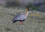 1105 Bare-faced Ibis, Phimosus infuscatus, Laguna Nimez, Argentina, 20101105.jpg