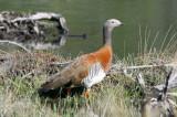 1107 Ashy-headed Goose, Chloephaga poliocephala, Los Glaciares NP, Argentina, 20101107.jpg