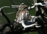 1107 Austral Pygmy-Owl, Glaucidium nanum, Los Glaciares NP, Argentina, 20101107.jpg