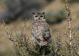 1109 Magellanic Horned Owl, Bubo magellanicus, Estancia La Angostura, Argentina, 20101109.jpg