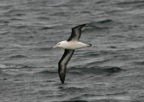 1111 Black-browed Albatross, Thalassarche m melanophris, ad, Beagle canal, Argentina, 20101111.jpg